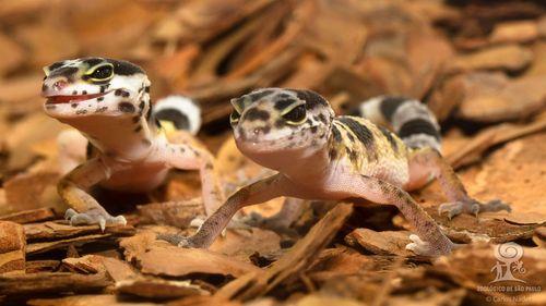 20130710_122452_leopard_gecko_Foto_Carlos_Nader