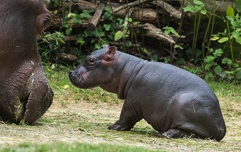 Hippo 4