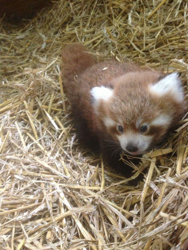 Kolmården Wildlife Park Welcomes Red Panda Cub - ZooBorns