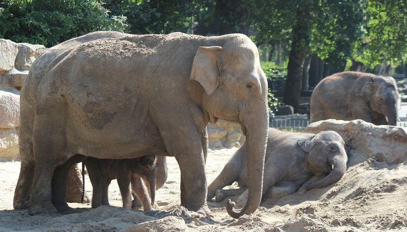 7 elephant