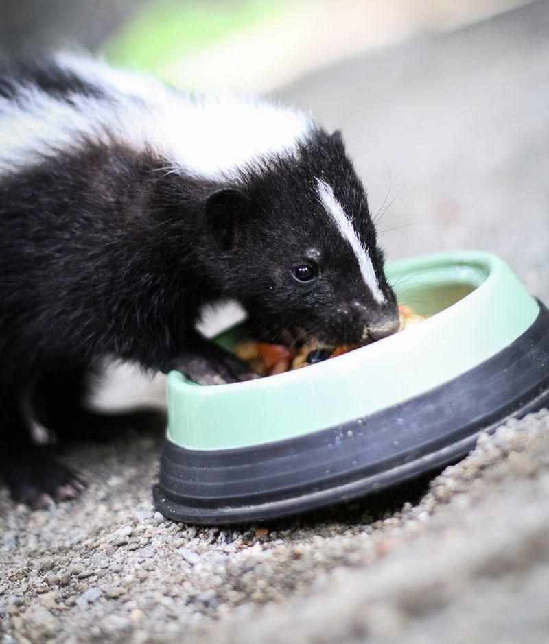 4 skunk