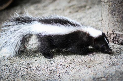 5 skunk