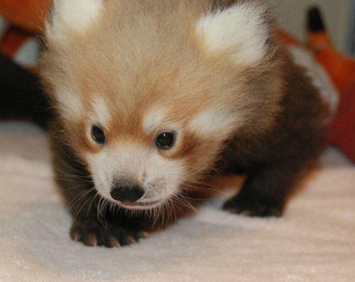 Red Panda 07312013 (70)
