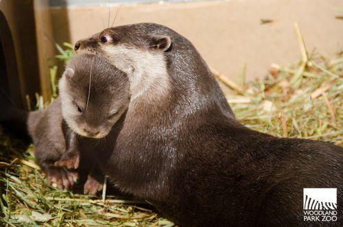 Otter nape