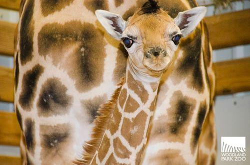 2013-08-07RHawk029GiraffeBaby