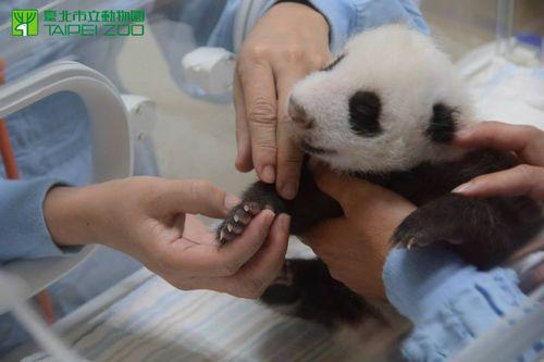 Panda 11