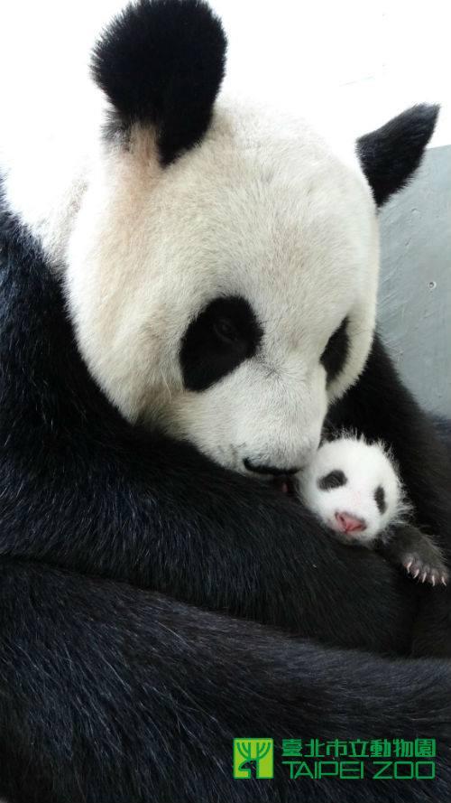 Panda 12