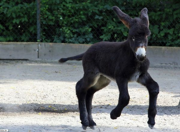 Poitou Donkey Foal Delights Visitors At Zoo Heidelberg