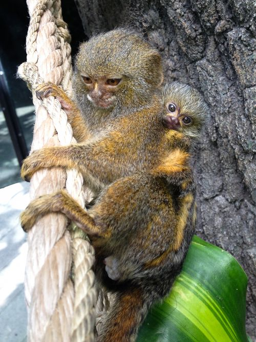 Houston Zoo Pygmy Marmoset Baby-2060