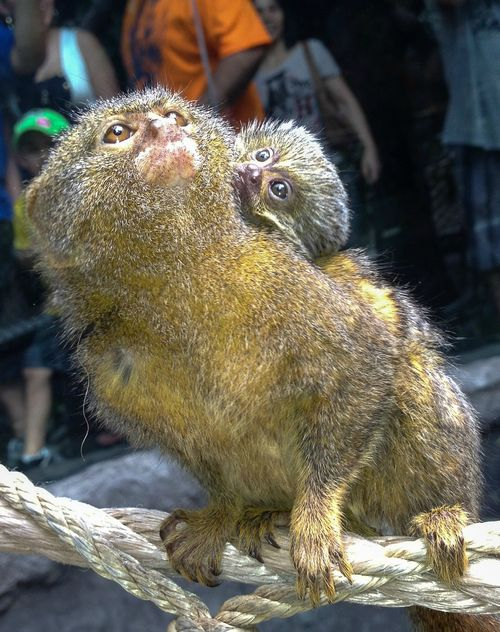 Houston Zoo Pygmy Marmoset Baby-2057