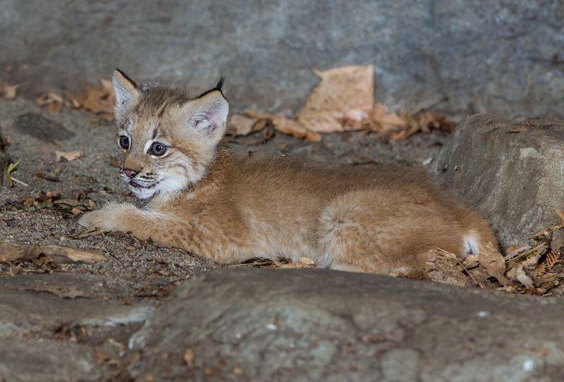 2 lynx