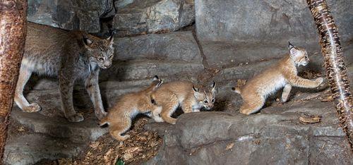 8 lynx