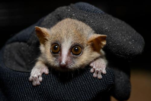 Lemur1