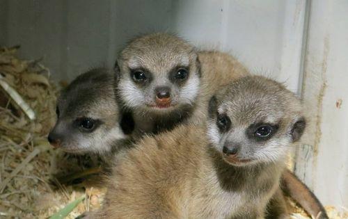 1 meerkats
