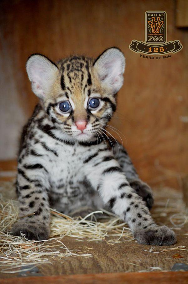 Wide-eyed Ocelot Kitten Debuts at Dallas Zoo