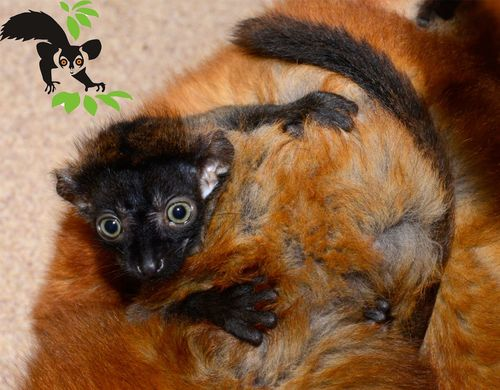 Blue eyed black Duke Lemur Center 2.jpg