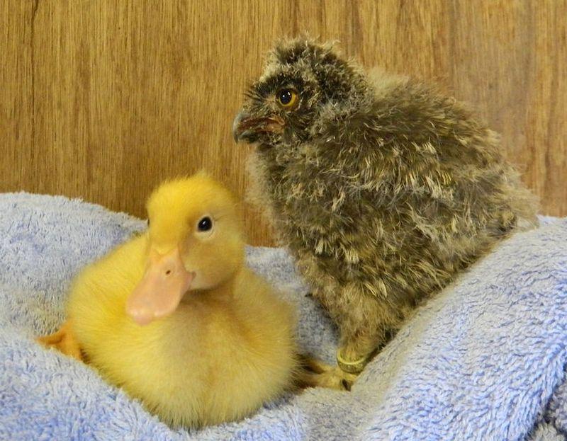 Duck awake