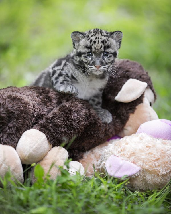 Update! Little Clouded Leopards Now Big Enough to Play
