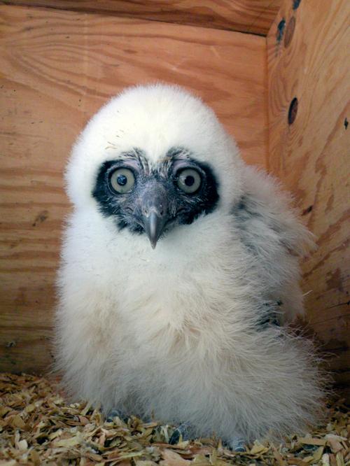 Phoenix Owl 1