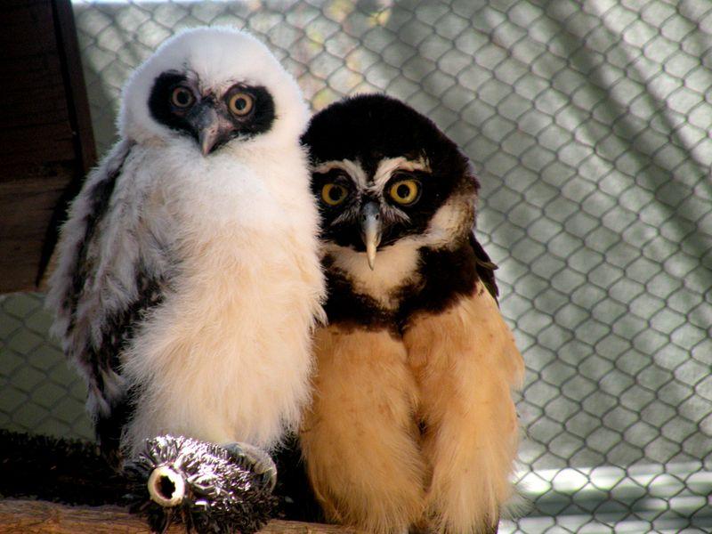 Phoenix Owl 3