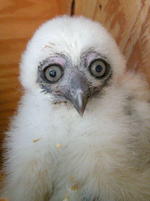 Phoenix Owl 6