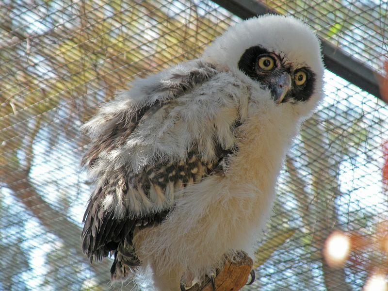 Phoenix Owl 7