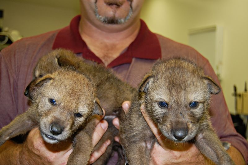 Red wolf pups 2