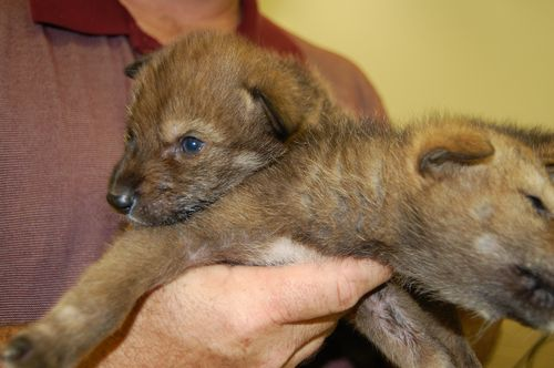 Red wolf pup