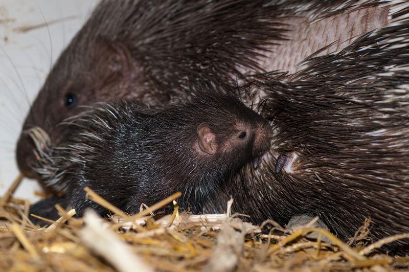 Stachelschweine_5