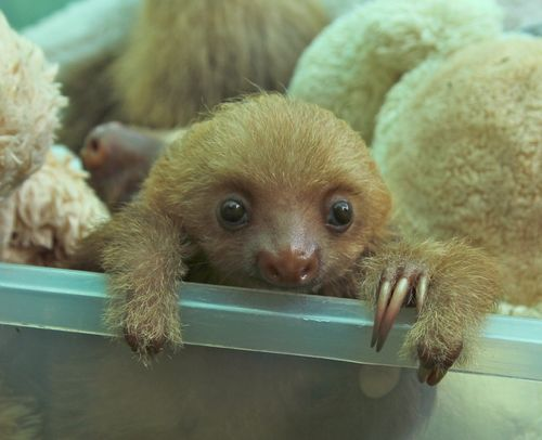 Baby Sloth from Sloth Sanctuary 4.jpg