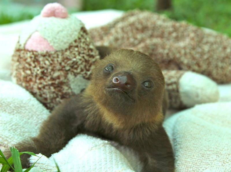 Baby Sloth from Sloth Sanctuary 8.jpg