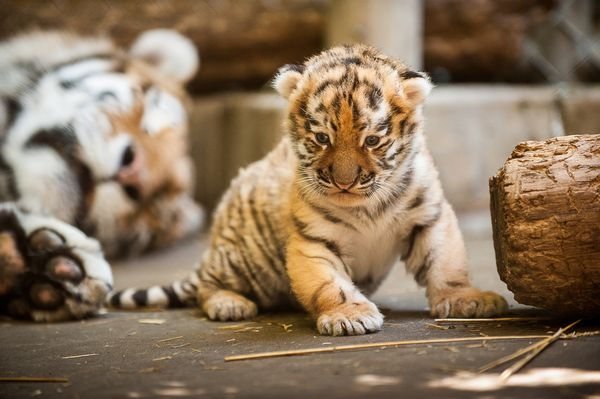Pittsburgh Zoo's Amur Tiger Cub Gets His First Check-Up