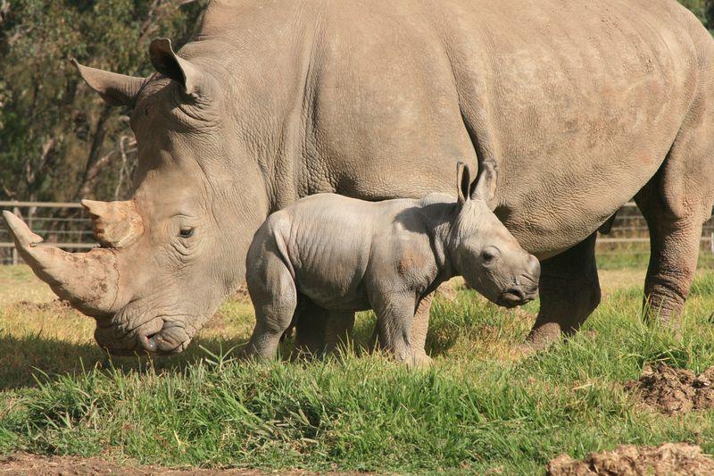 White Rhino Calf_15.5.13_credit Leonie Saville (1)