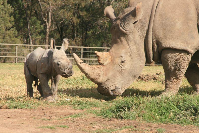 White Rhino Calf_15.5.13_credit Leonie Saville (4)