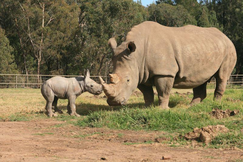 White Rhino Calf_15.5.13_credit Leonie Saville (5)