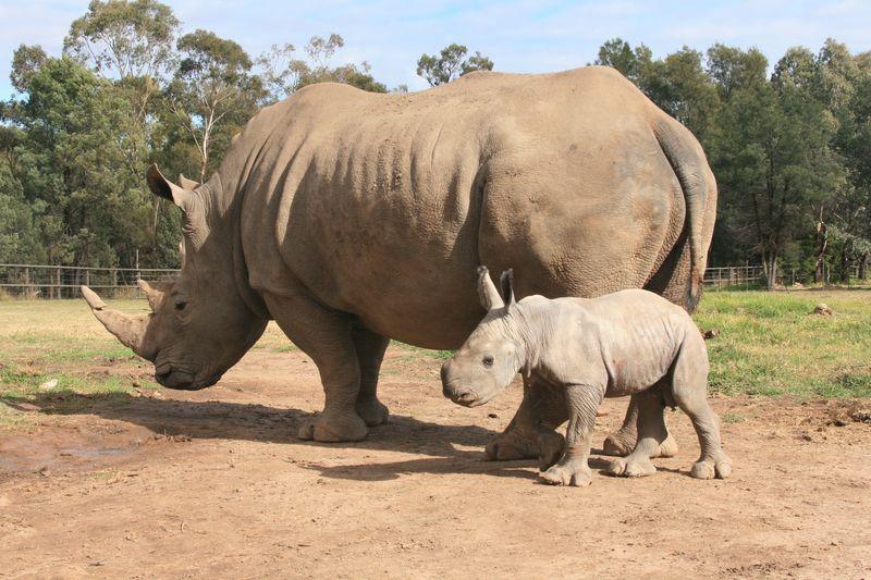 White Rhino Calf_15.5.13_credit Leonie Saville (3)