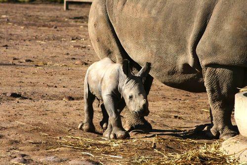 White Rhino Calf_14.3.13_MQSM (55)