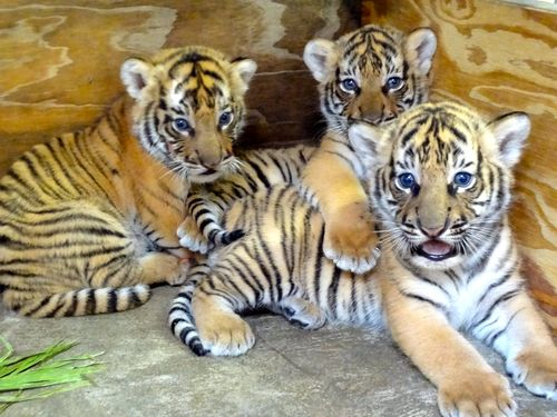Y Tigers Are Endangered Endangered Tiger Cub T...