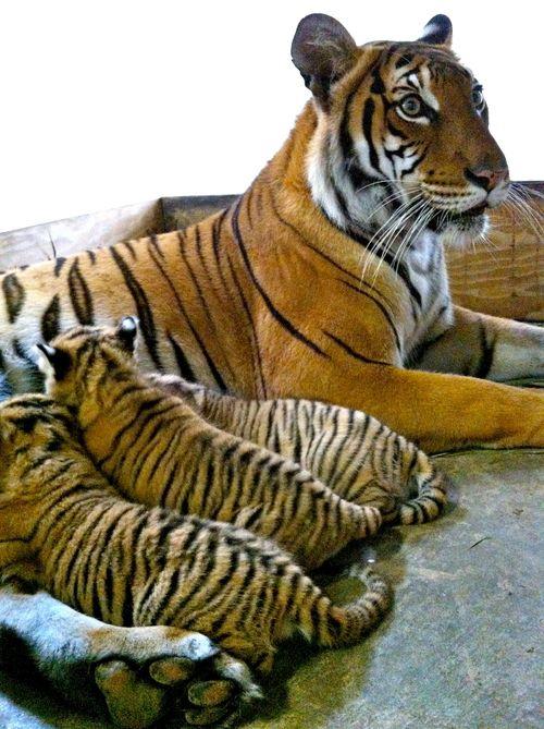 Tiger nurse