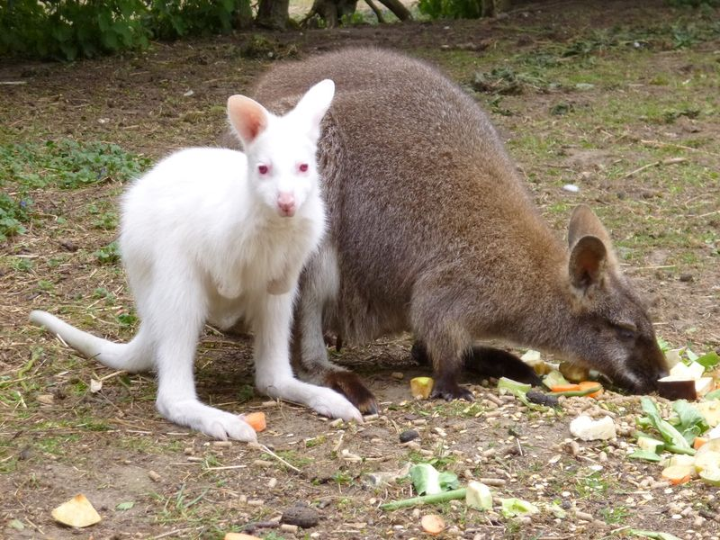 Albino Red Necked Wallaby joey with mum Kylie 10.05.13 (4)