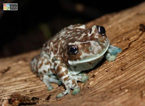 Milky Tree Frog_Adult Stage1