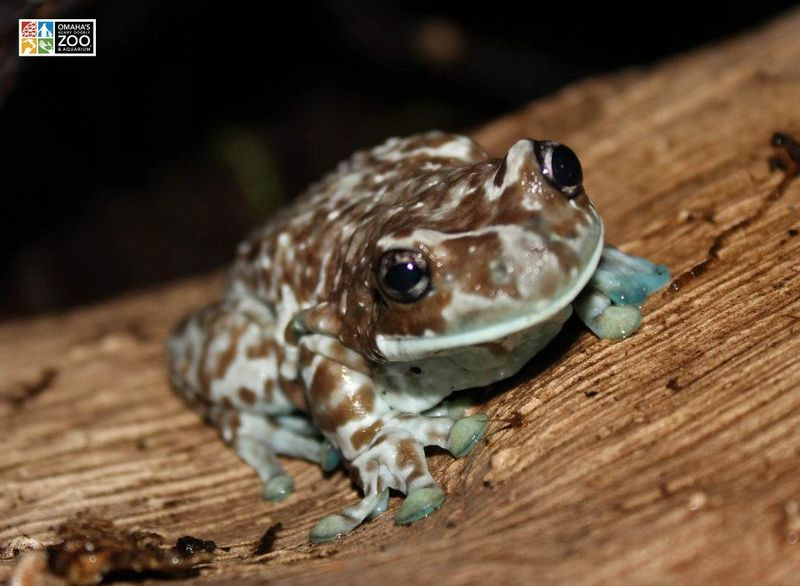 Milky Tree Frog_Adult Stage1