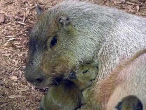 CleMetZoo capybara baby 1