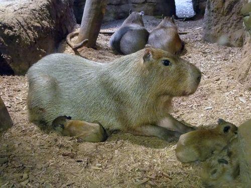 CleMetZoo capybara baby 3