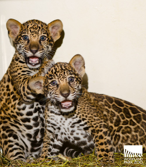 Woodland Park Zoo's Trio of Jaguar Cubs Full of Personality