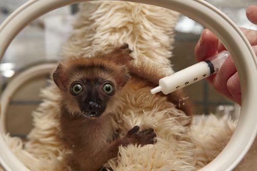 Blue-Eyed Lemur 1