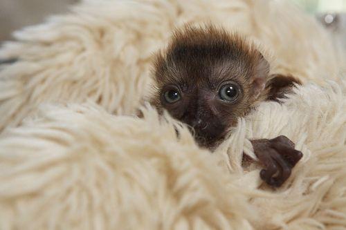 Blue-Eyed Lemur 2