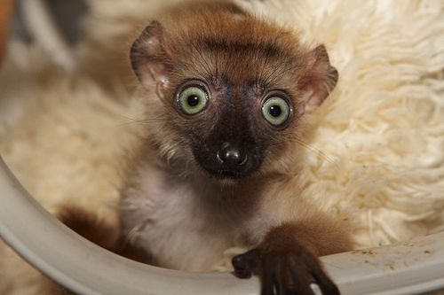 Blue-Eyed Lemur 3