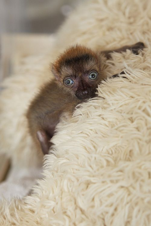Blue-Eyed Lemur 4