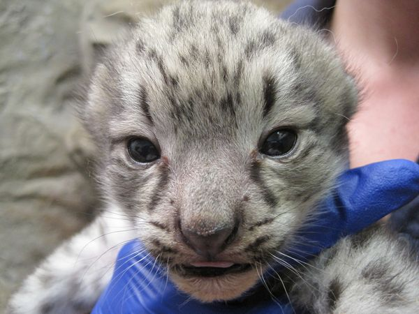 Endangered Snow Leopard Cub Born in Denver